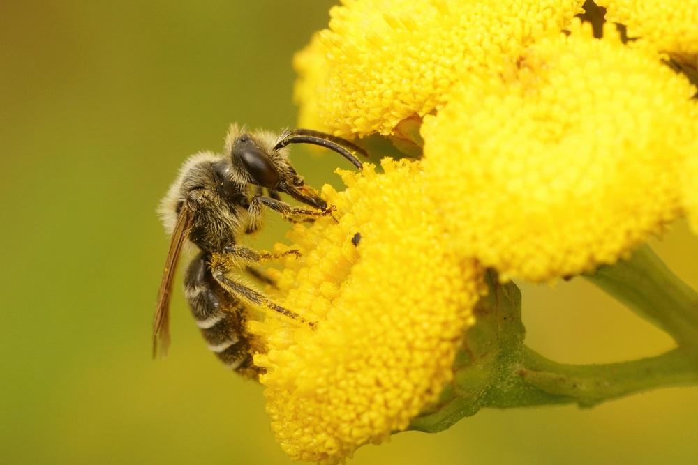 Weetjes over bijen