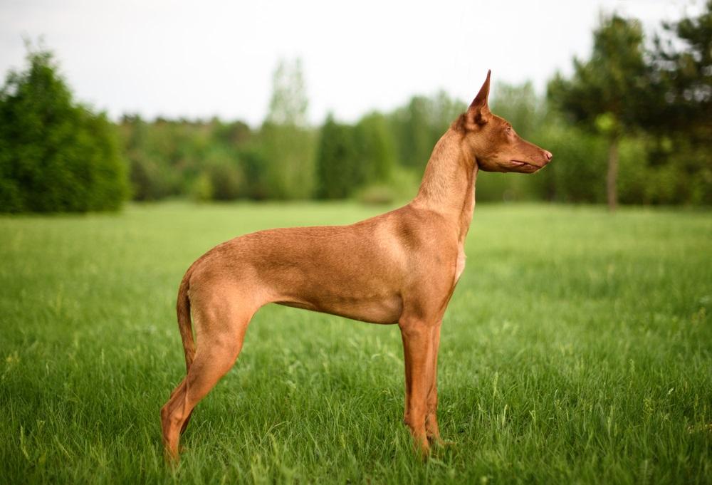 Farao-hond