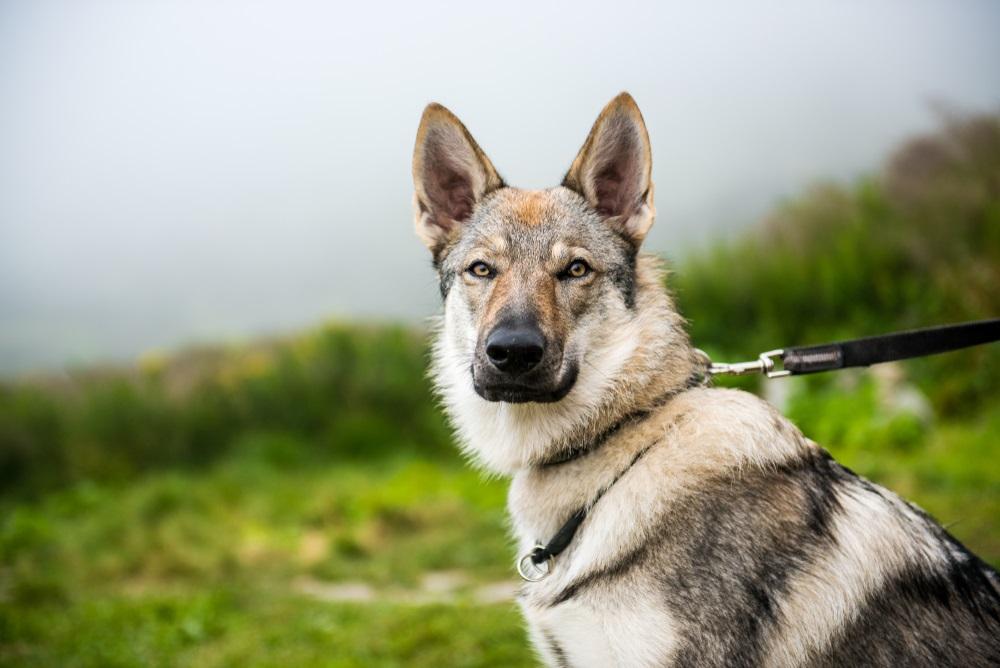 Tsjecho-Slowaakse wolfshond